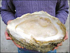2000歲巨型貝殼 - 2000歲巨型貝殼還在生長!