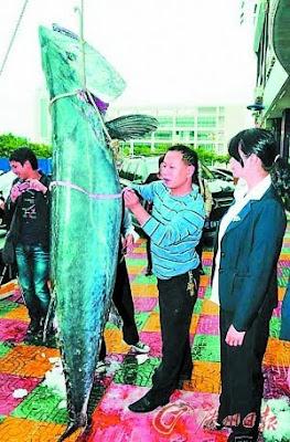 巨型馬鮫魚 - 漁民捕獲巨型馬鮫魚