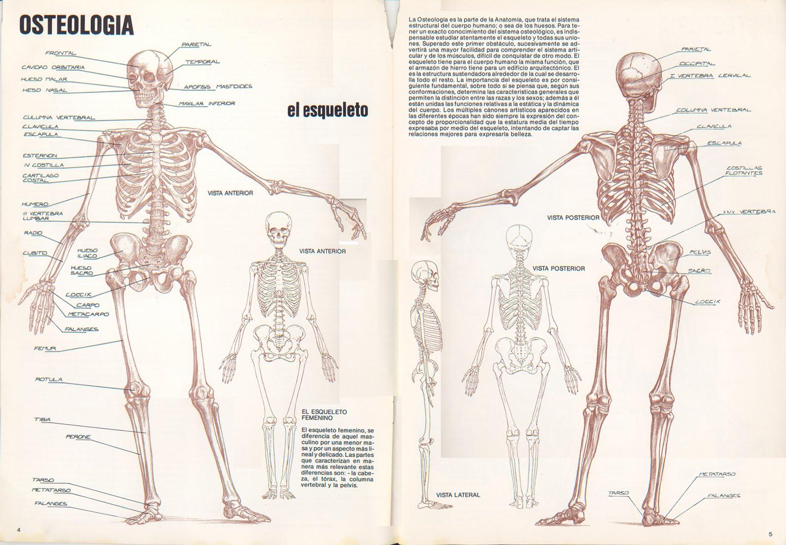 Único Estructura ósea Humana Embellecimiento - Anatomía de Las ...