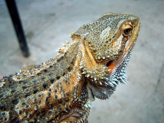 can bearded dragon eat spinach