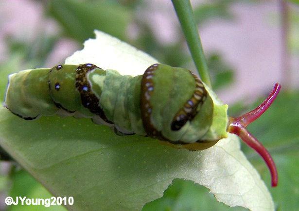 Sphingidae Larvae http   saphotographs blogspot com 2010 06    Sphingidae Larvae