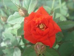 Rosa del jardín de Dulce.