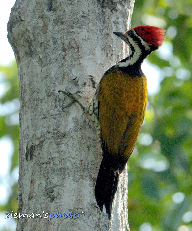 BIRD handheld: Female Common Flameback (Dinopium Javanense)