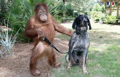 orangutan_walks_dog.jpg