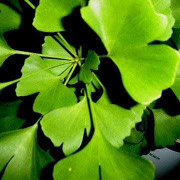 Ljekovito bilje i trave GinkgoBiloba