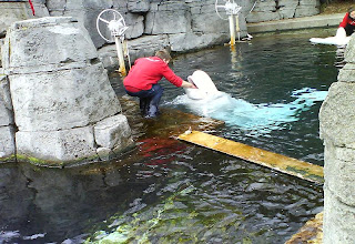 Beluga Wales at Vancouver Aquarium