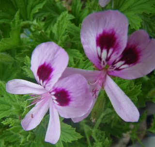 Scented Pelargoniums / Geraniums Frensham Lemon flowers