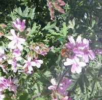 Bee in Scented Pelargonium Lady Plymouth flower