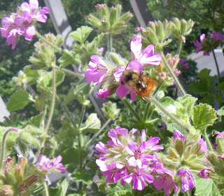 Bee in Scented Pelargonium /Geranium Atomic Snowflake flower