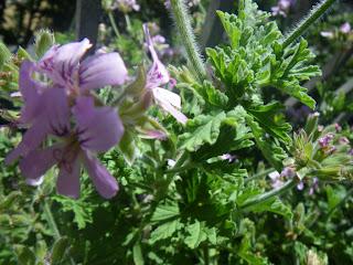 Scented Pelargonium / Geranium Citrosa