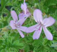 Scented Pelargonium / Geranium Attar of Roses