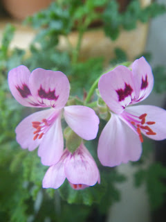Scented Pelargonium / Geranium Fair Ellen flower