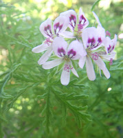 Scented Pelargoniums / Geraniums Skeleton Rose flower