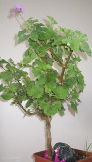 Scented Pelargoniums / Geraniums Atomic Snowflake plant