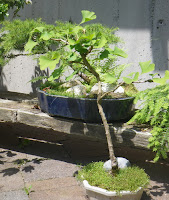 Ginkgo Biloba bonsai tree at Minter-Gardens, Rosedale, British Columbia
