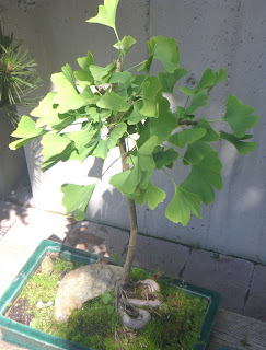 Ginkgo Biloba bonsai tree at Minter-Gardens