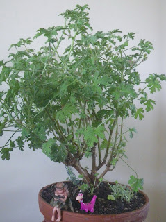 Pelargonium Capitatum bonsai, Attar-of-Roses, Drusaim, Wildemalva