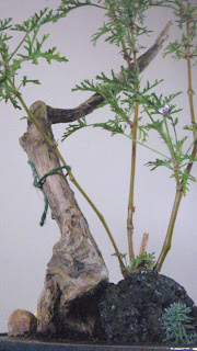 Pelargonium Radens bonsai on driftwood