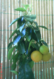 Lemon tree in april 2008  - Bear's Lime_variety