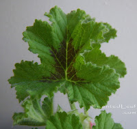 Rose scented pelargonium Snowflake leaf