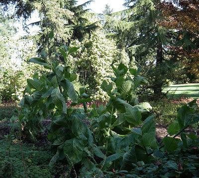 tobacco plants at VanDusen