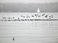 Surf Scoters among Vancouver's Second Beach