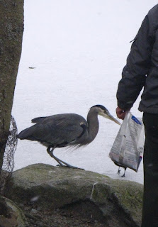The Great Blue Heron catching free lunch in Stanley Park