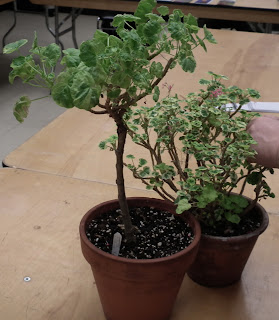 grafted plant and grafting plant