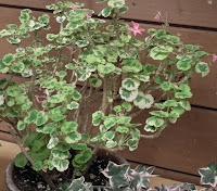 grafting plant