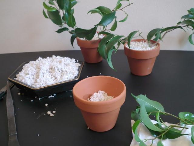 planting ficus wiandi cuttings in perlite