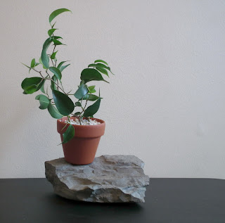 Ficus wiandi cutting in terrapotta pot and perlite