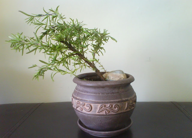 Upright Rosemary / Rosmarinus officinalis trained as indoor bonsai