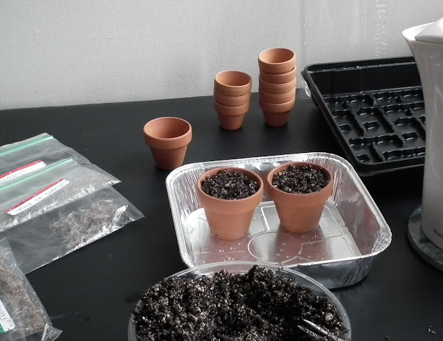 Planting pelargonium seeds in drained germination mix