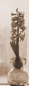Hyacinthus orientalis indoor flower