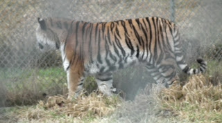 Greater Vancouver Zoo - Siberian Tiger