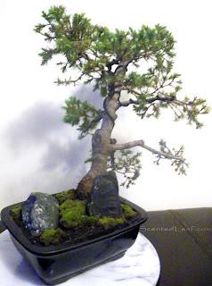 Pyramidal Dwarf Alberta Spruce bonsai