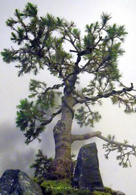 Picea Glauca Conica bonsai