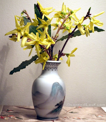 Forsythia flowers and bay laurel branch
