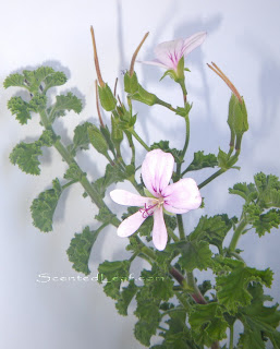 Pelargonium Citrosum Prince of Orange branch