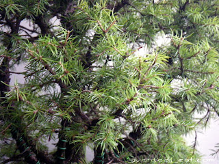 Picea Pungens Globosa green foliage