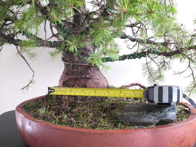 Picea Pungens Globosa bonsai - trunk measure