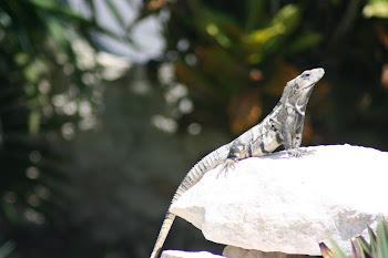 Iggy our Resident Iguana