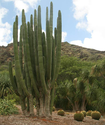 CACTUS At Koko Crater Botanical Garden