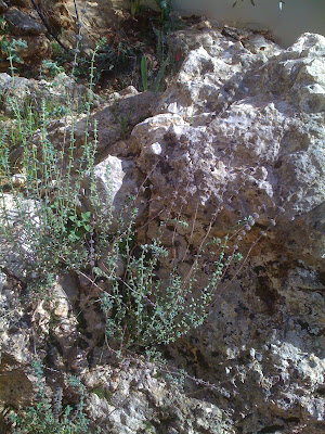 Land and people in my garden wild plants grow for Plante zaatar