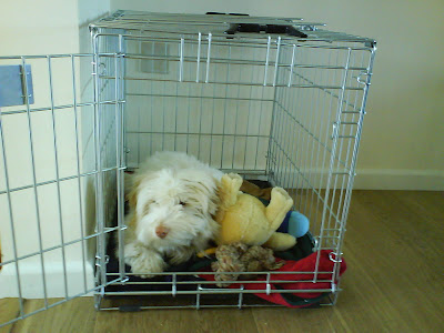 coton de tulear in crate