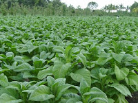 tanaman tembakau