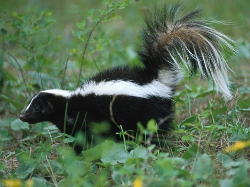 Can A Skunk And A Cat Have Babies