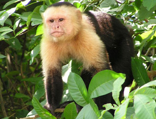 WILD AND EXTREME: CAPUCHIN MONKEY