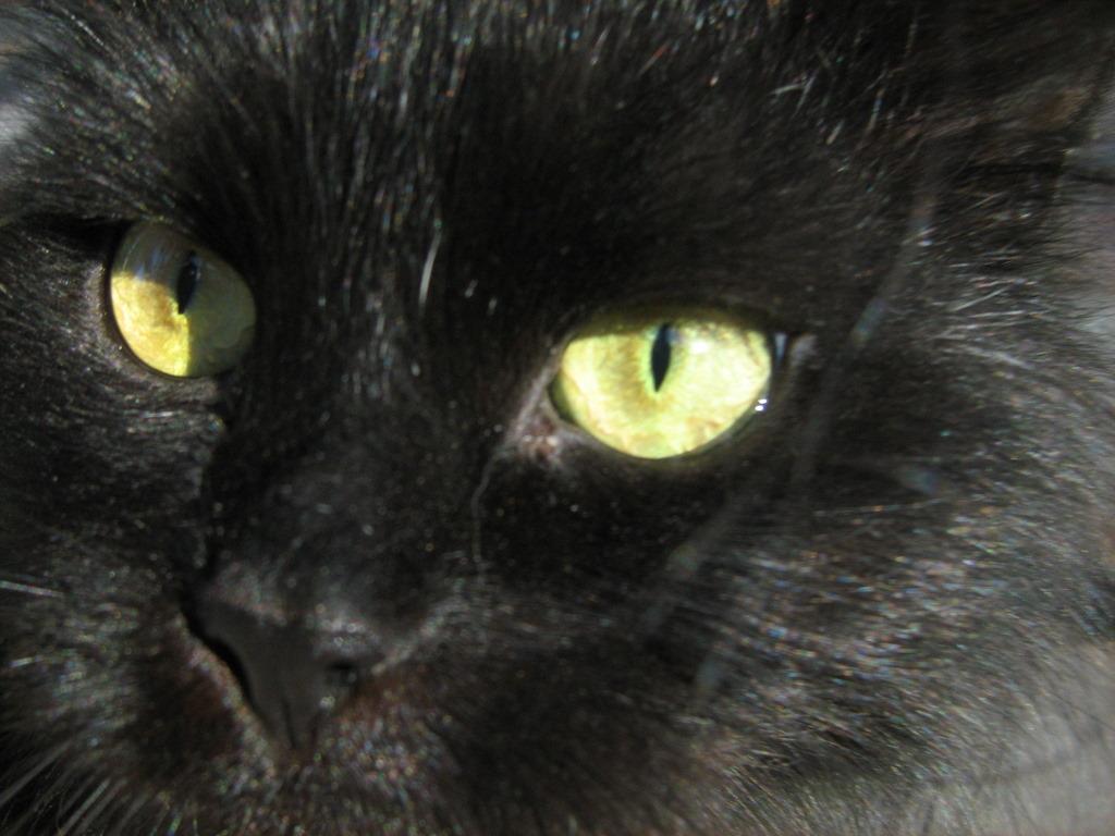 Yellow Eyed Black Fat Cat — Russian Cats