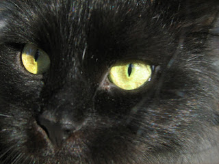 Yellow-Eyed Black Fat Cat